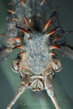 Cool Picture of Alien Insect - Insect Macro Photography - Igor Simanowicz