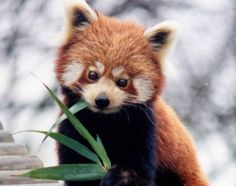 Cute Red Panda - I never lnew there were red pandas!