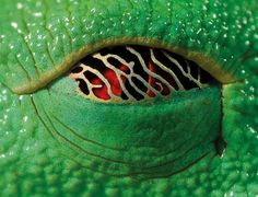 Napping eyes of the red eyed tree frog. In the day, when the frog is asleep, a gold membrane creeps over it's eyes. It lets in a small amount of sunlight, so if a predator approaches, the frog can wake up. Reptile Eye, Regard Animal, Small Frog, Frog Eye, Red Eyed Tree Frog, Closed Eyes, Frog And Toad, Tree Frogs, Reptiles And Amphibians