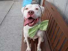 SPOTLIGHT – TERRIFIC REX RETURNED AS STRAY 5 TIMES - REX aka KINGSTON aka WILLY (24739) was brought first to NYC ACC as a STRAY puppy in September 2014. Over the next 4 year, Rex was returned to the shelter 4 times. And this June, he returned to Brooklyn Center, branded a STRAY yet again. Today, Rex is a big boy and has a big personality. Still, he loves to play ball, jumps in the air to catch it or runs after it. ♥ MAKE THIS MAJESTIC BOY YOUR FOREVER. ♥…