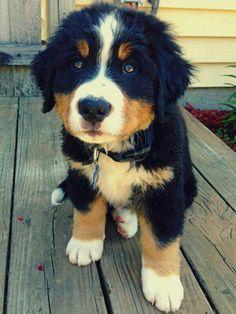 Burmese Mountain Dog pup~
