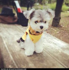 This cute little doggie is Noel from Tokyo. Noel is a Morkie, a mix between a Maltese and a Yorkie. She is soooooooo cute in her little yellow top!