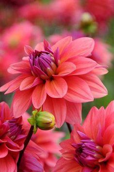 Dalias rosadas