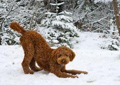 Goldendoodle!