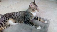 Javanese endemic cats