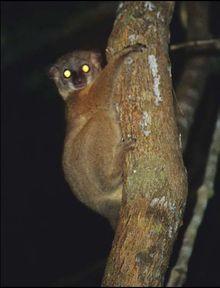 Tapetum lucidum - Wikipedia, the free encyclopedia
