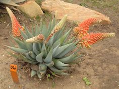 Aloe claviflora (Kraal Aloe) is normally stemless but in old plants, short stems may form which grow horizontally along the ground. Unlike other typical Aloes in arid areas, it does not have erect rosettes. Instead they face outward, giving them a characteristically asymmetric shape...