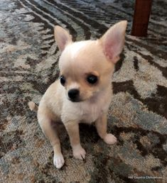 Available Puppies – Hill Country Chihuahuas Chihuahua Breeders, Chihuahua Puppies For Sale, Baby Chihuahua, Yorkie Puppy, Teacup Puppies, Cute Dogs And Puppies, Chihuahuas, Doggies, Apple Head Chihuahua