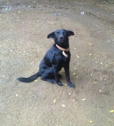 Cachorro preto é o aço