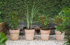 Vasos de cerâmica têm capim-limão e variedades de pimenta. Ficam próximos à parede forrada de unha-de-gato (Hortas   Garden)