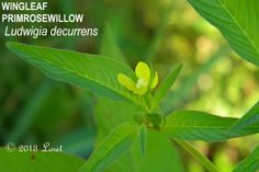 WINGLEAF PRIMROSEWILLOW (Ludwigia decurrens) | What Florida Native Plant Is Blooming Today?™