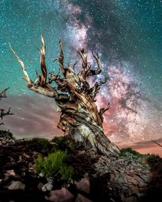 Methuselah tree 4,847 years old, one of the oldest trees in the world 💫 by andy.c.photography