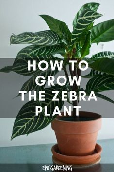 The zebra plant, or aphelandra squarrosa, is a finicky but absolutely beautiful houseplant. Learn how to care for it in this in-depth plant guide. Begonia, Organic Gardening, Gardening Tips, Indoor Gardening, Layout Design, Lush, Snake Plant Care, Zebra Plant, Magic Garden