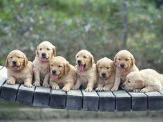 Seven Golden Retriever Puppies