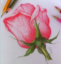 Rose - colored pencils