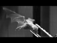 Video: Specialized Bat Tongue Helps it Drink
