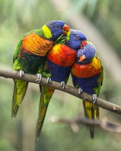 The Rainbow Lorikeet is an Australian native animal that is known for its tremendous beautiful colours. Rainbow Lorikeets usually move together in flocks rather than move individually. Tropical Birds, Exotic Birds, Colorful Birds, All Birds, Love Birds, Zoo Pictures, Australian Parrots, Les Reptiles, Common Birds