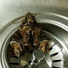 Flying Frogs? Meet the frog that looks like a moth, or is it the moth that looks like a frog? Hmm, so let's see… After removing this little guy from your kitchen sink, it flies away! It is indeed the South American Hag moth, also called the Monkey Slug (Phobetron hipparchia) that mimics... http://www.behind-the-scenes.co.za/flying-frogs/