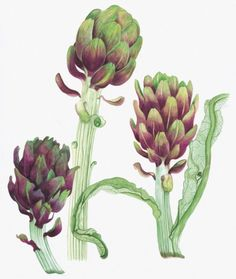botanical art - Artichokes