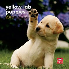 Yellow Lab Puppies Mini Wall Calendar: It is no wonder that Yellow Labrador Retrievers are such popular pets. Lab puppies make your heart feel a bit more than a twinge of puppy love — it never fails.  http://www.calendars.com/Yellow-Labs/Yellow-Lab-Puppies-2013-Mini-Wall-Calendar/prod201300004673/?categoryId=cat10088=cat10088#