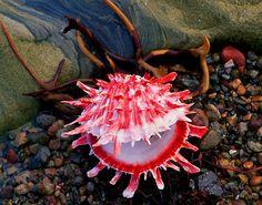 Thorny Oyster (Spondylus princeps) © James Randklev Photography Pacific