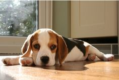 Sun bathing #Beagle
