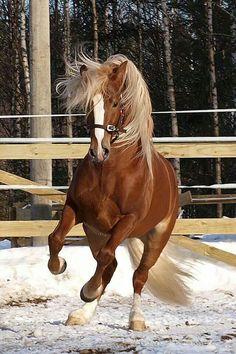 C'est une photographie d'un cheval roux. Il a une ligne blanche dans le front, une longue crinière blonde, des sabots beige et des sabots au canon (membre du cheval) blanc. Deplus il a un licol brun et il semble être dans un enclos en plein air. Quand j'ai vue cette photo j'ai ressentie de la liberter car le cheval a l'air d'être bien et heureux et ses pour sa que j'aime cette photographie!