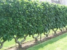 use espalier to create a division of space or screen and area.  Lovely.