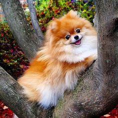 Pomeranians Discover Cute Pomeranian Puppy And Kids Cute Puppies, Dogs And Puppies, Cute Dogs, Doggies, Beautiful Dogs, Animals Beautiful, Majestic Animals, Cute Baby Animals, Animals And Pets