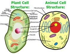 Animal Cell Model Diagram Project Parts Structure Labeled Coloring