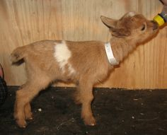 Pholia Farms...combining delicious goat cheese with adorable pygmy goats.  It's a win-win for me!