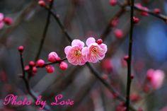 今日も寒いけど、 花はもう春 紅梅 by 愛花姫20