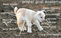 **Baby goats are SO cute!** Goat parts