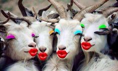 Makeup crazy goats are looking simply smashing. Funny Animal Pictures, Funny Images, Funny Photos, Cute Pictures, Funny Animals, Cute Animals, Happy Birthday Goat, Happy Birthday Images, Eid Jokes