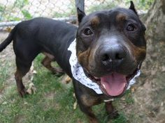 TO BE DESTROYED ON 07/07/14 Manhattan Center -P My name is VINNY. My Animal ID # is A1004350. I am a male black and tricolor pit bull mix. The shelter thinks I am about 6 YEARS old.  I came in the shelter as a STRAY on 06/23/2014 from NY 11429, owner surrender reason stated was STRAY.