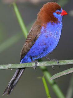 grenadiers birds - Google Search