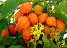 Risultati immagini per Peanut butter fruit Weird Fruit, Strange Fruit, Exotic Fruit, Tropical Fruits, Tropical Garden, Fresh Fruits And Vegetables, Fruit And Veg, Brazilian Fruit, Fruit Shoot