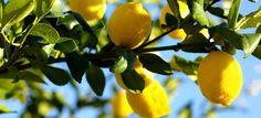 Alles, was du brauchst, um einen Zitronenbaum aus einer Tasse zu ziehen, sind ein paar Steine, Zitronenkerne, etwas Erde und eine Tasse.