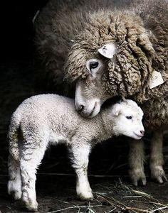 A mama and baby lamb