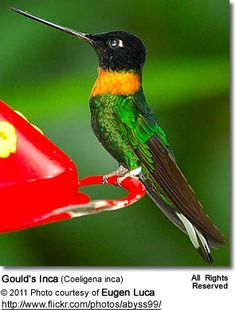 Gould's Inca (Coeligena inca) - also known as the Collared Inca Hummingbird
