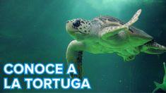 Un vídeo con el que tu hijo descubrirá cómo viven las tortugas de mar.
