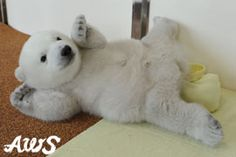 Polar bear baby 60 days old | Topics | Adventure World