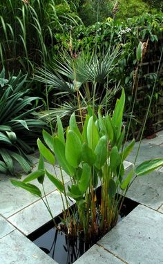 Thalia dealbata (Hardy water canna)