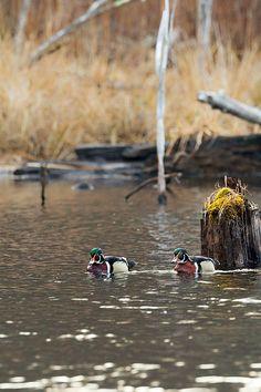 #woodducks #woodduck #ducks