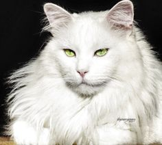 Interested in owning a Maine Coon cat and want to know more about them? We've made this site to tell you all you need to know about Maine Coon Cats as pets Gatos Maine Coon, Chat Maine Coon, Maine Coon Kittens, Cats And Kittens, Ragdoll Kittens, Funny Kittens, Tabby Cats, Bengal Cats, Adorable Kittens