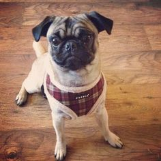 Puppia fleece lined barron harness in sizes s-xl at www.ilovepugs.co.uk   post worldwide