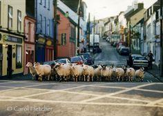 Dingle Sheep - Ireland - Fine Art Photography Print - 5x7