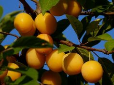 Ringló szilva – ezek a gömbölyű színes kis gyümölcsök kevésbé népszerűek, mint a szilva pedig ugyanolyan zamatosak, egészségesek. Fruit Trees