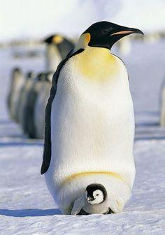 Pinguim Imperador e seu Filhote