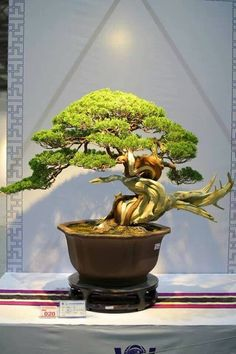 Are you interested in getting an indoor bonsai tree? If you are, then you definitely need to learn about how you can take good care of your tree so that it will survive life indoors. Potted Trees, Trees To Plant, Ikebana, Indoor Bonsai Tree, Juniper Bonsai, Bonsai Styles, Tree Pruning, Miniature Trees, Plant Art